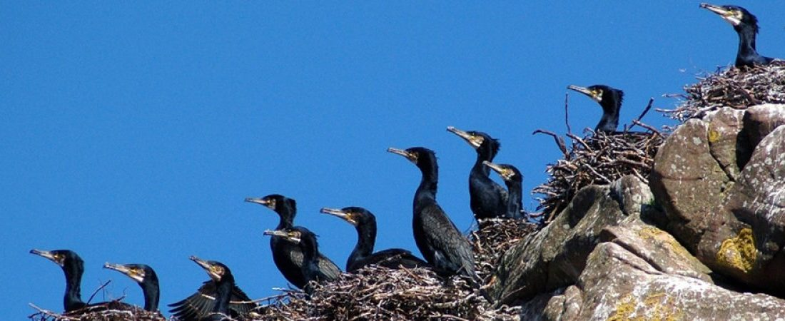 Cormorants on Shieldaig Island, Scotland