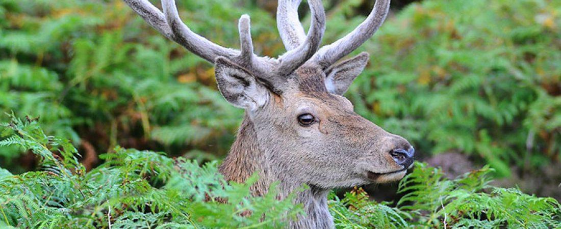 Red Deer by Sand, near Shieldaig, Scotland