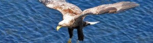 Sea-Eagle-Watching-Shieldaig Scotland
