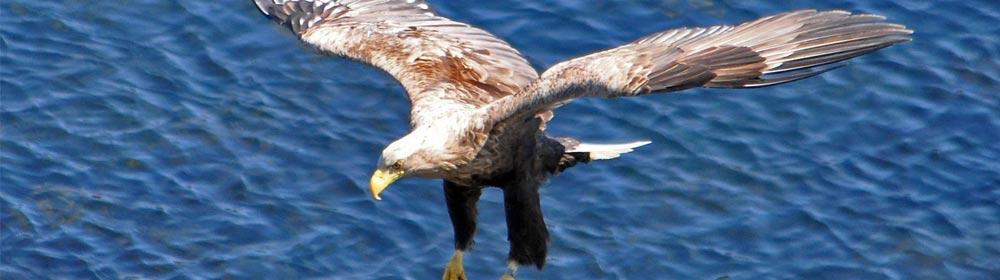 Sea-Eagle-Watching-Shieldaig Scotland