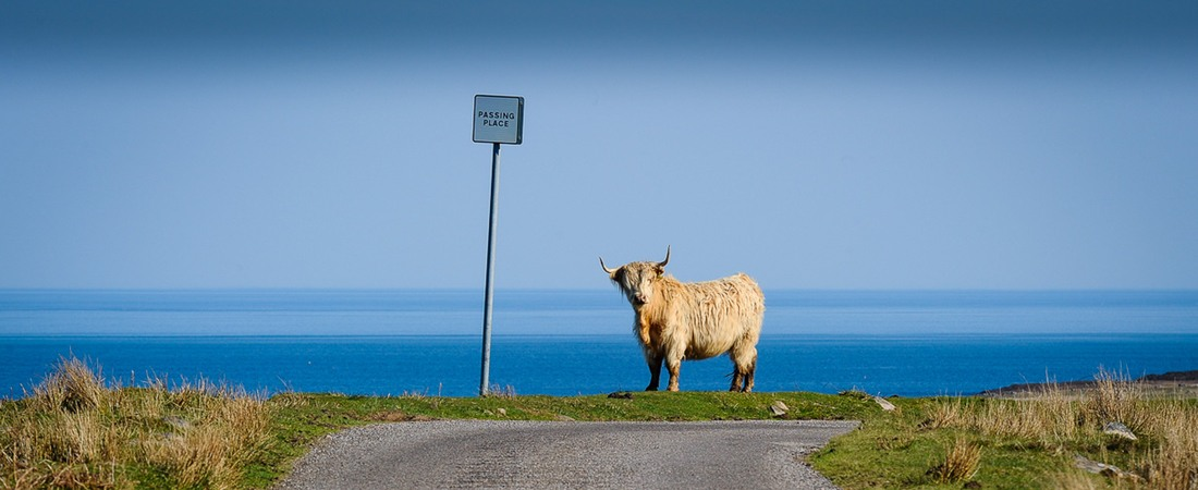 Highland cow, NC500 route, holiday home Shieldaig