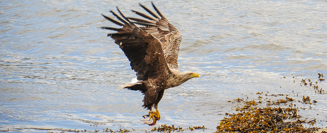 Sea eagles nest on Shieldaig island opposite luxury holiday house, Scotland