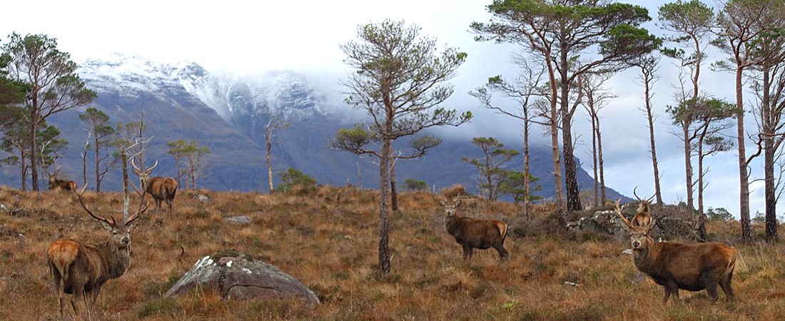 Roaming wild near Shieldaig, Torridon Highlands, Scotland