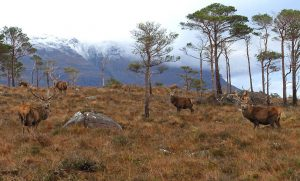 Red deer herd near Shieldaig, Scotland